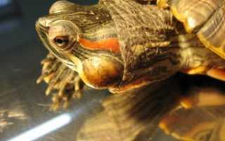 Красноухая черепаха опухла