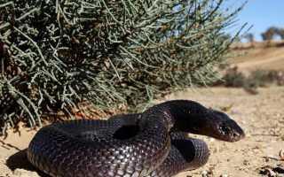 Змеи пустыни фото
