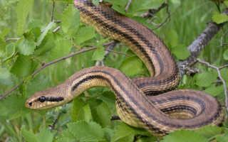 Змеи ставропольского края фото и описание