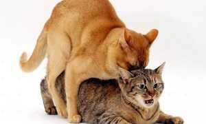 Как проходит вязка у кошек