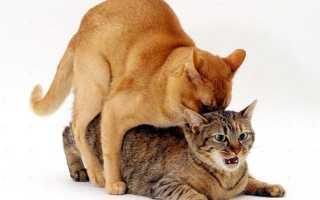 Вязка котов и кошек как правильно