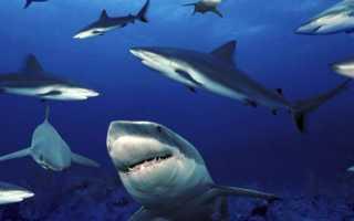 Акула самая маленькая
