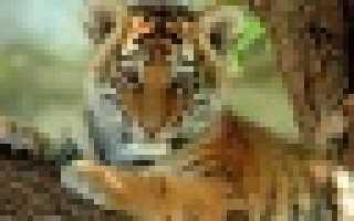 Стратегии сохранения амурского тигра в россии