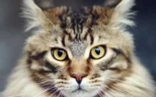 Мэйкун порода кота