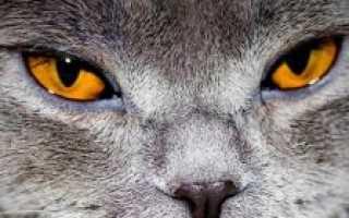 Почему чихает кот и что делать