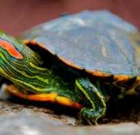 Красноухие черепахи содержание в домашних условиях