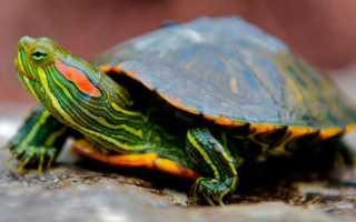 Красноухая карликовая черепаха