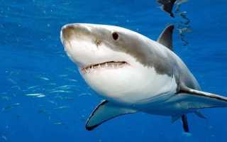 Почему акула боится дельфинов