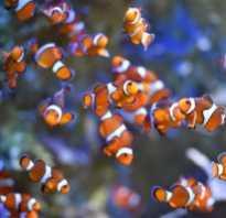 Рыбка клоун виды