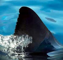 Что делают из акульих плавников