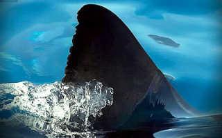 Плавник акулы фото