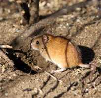 Где живут полевые мыши