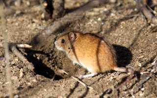 Мышь полёвка интересные факты