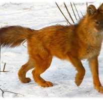 Почему вымирают красные волки