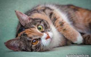 Виды трехцветных кошек