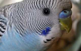 Волнистый попугай как определить возраст
