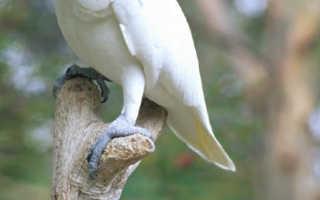 Сколько стоит белый попугай
