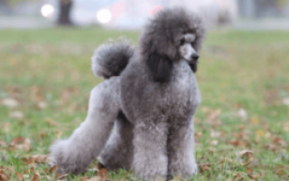 Карликовый пудель вес взрослой собаки