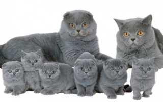 Вязка шотландских вислоухих кошек правила