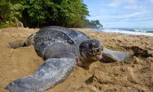 Дермохелис черепаха википедия