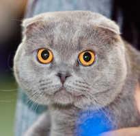 Вязка шотландской прямоухой кошки