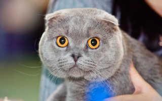 Вязка вислоухих котов