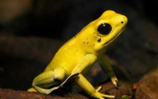Сине желтая лягушка