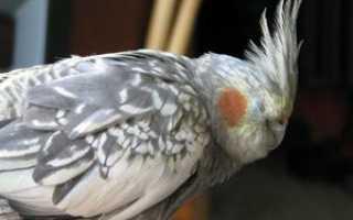 Попугай постоянно хохлится