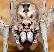 Самый большой ядовитый паук в мире