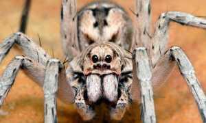 Самый опасный паук на свете