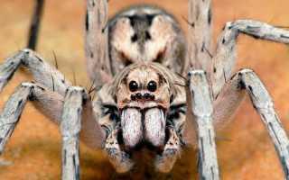 Какой самый опасный паук