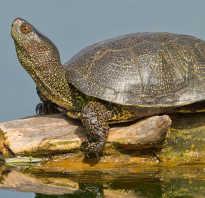 Черепаха с длинным хвостом