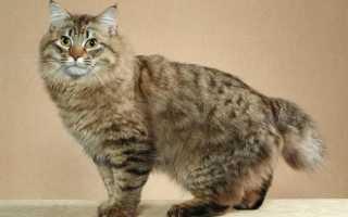 Бобтейлы коты фото