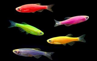 Аквариумные рыбки данио рерио