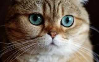 Виды шотландских кошек фото и описание