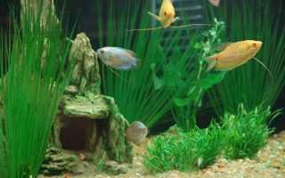 Как выглядит рыбка гурами