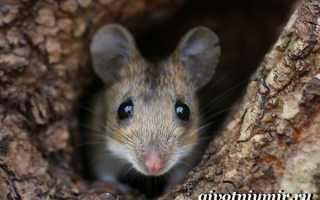 Мышь википедия животное