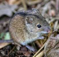 Масса полевой мыши
