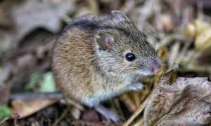 Полевая мышь и полевка отличие
