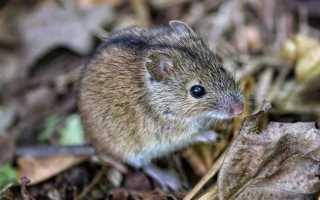 Вес полевой мыши