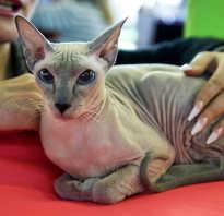Разновидности сфинксов кошек фото с названиями