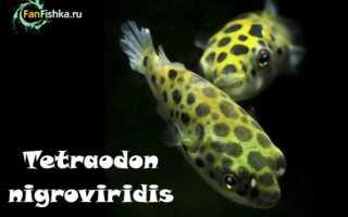 Рыба тетрадон аквариумная