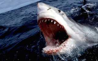 Сколько весит большая белая акула