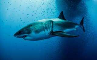 Огромная акула мегалодон