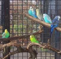 Пение и как говорят волнистые попугаи