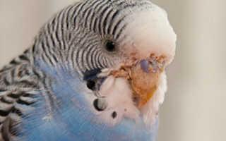 Клещ у попугая фото