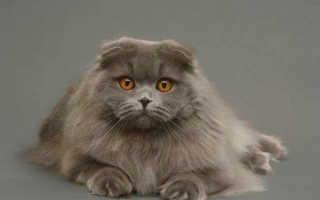 Порода котят хайленд