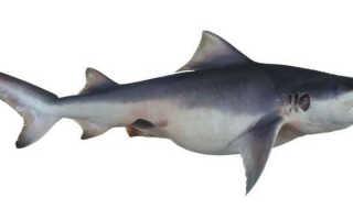 Серая акула фото