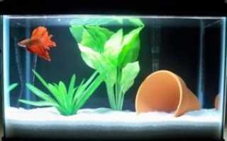 Рыбка петушок как ухаживать и кормить