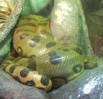 Картинки змеи анаконды